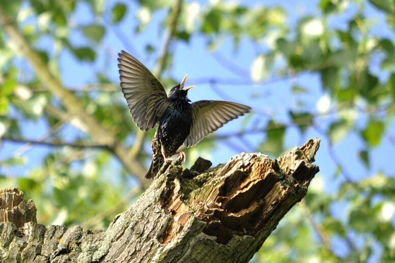 Satya singender Vogel