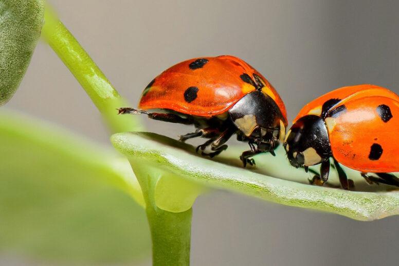 Renaissance Seelen in einer Beziehung, Käfer